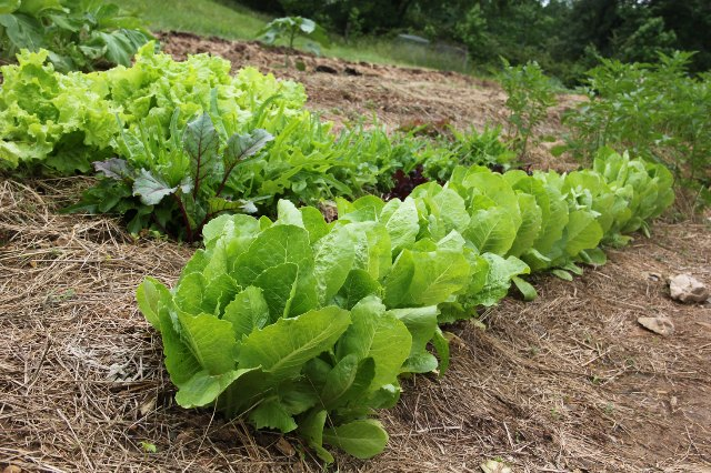 Survival Gardening, Salad Greens, Custom Knives, Lucas Forge